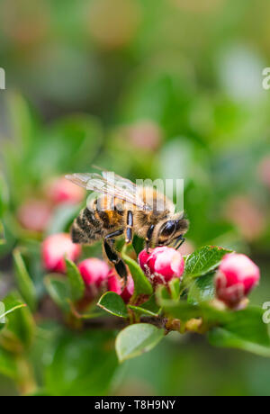 Western Honey Bee (Apis mellifera), AKA European Honey Bee, on a plant with red buds in Spring (May) in West Sussex, UK. Portrait with copy space. - Stock Image