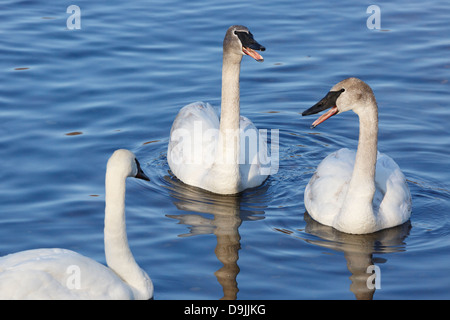 Trumpeter swans honking on the Mississippi River - Minnesota, USA. - Stock Image