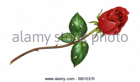 Rose Red right - Stock Image
