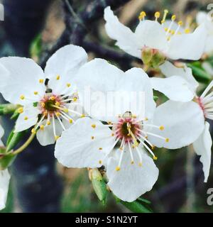 Cherry blossoms - Stock Image