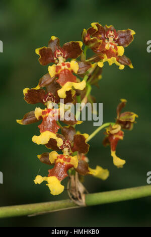 Orchid (Oncidium parviflorum) in forest near Monteverde Cloudforest Preserve, Tiaran, Costa Rica - Stock Image