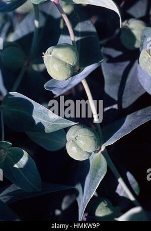 Caper Spurge or Paper Spurge seed pods (Euphorbia lathyris), Euphorbiaceae. - Stock Image