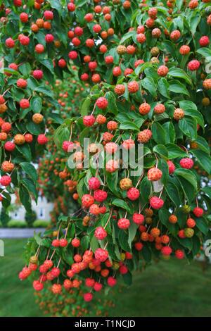Kousa Dogwood (Cornus kousa) fruits in autumn. - Stock Image