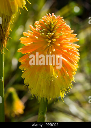 Large autumn flower head of the orange budded, yellow flowered torch lily, Kniphofia rooperi - Stock Image