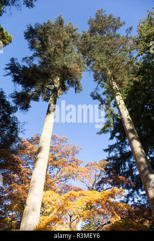 Noble fir tree,  Abies Procera, National arboretum, Westonbirt arboretum, Gloucestershire, England, UK - Stock Image