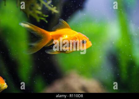 Goldfish in aquarium - Stock Image