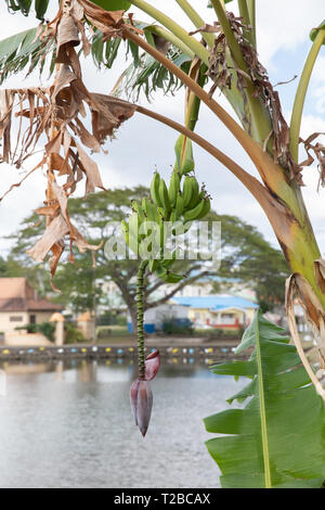 Banana Palm in St Lucia, The Caribbean - Stock Image