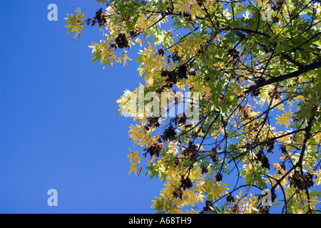 Green and yellow leaves of a tree against a bright blue sky - Stock Image