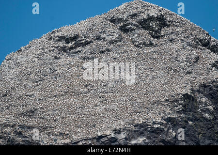 Summit of Stac Lee and gannet colony, St Kilda - Stock Image