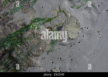 Ammonite fossils in rock on beach at Charmouth, Dorset, UK - Stock Image