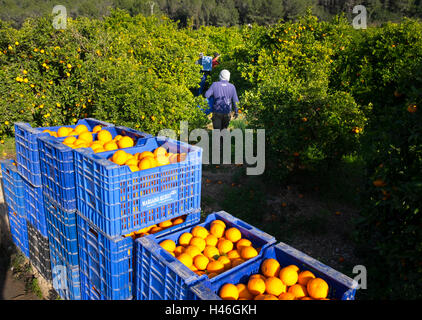 Oranges being harvested into plastic crates by workers in a Spanish orange grove - Stock Image