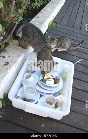 Tabby cat stealing from food tray - Stock Image