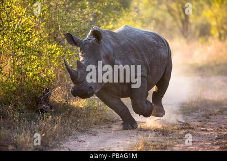 White rhinoceros (Ceratotherium simum) charging, Mala Mala Game Reserve, South Africa. - Stock Image