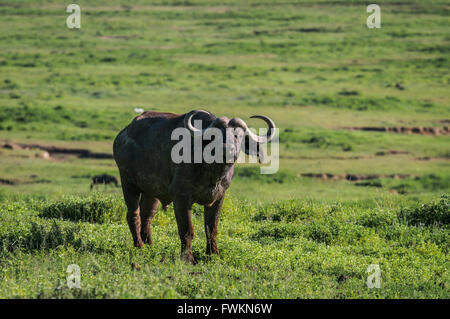 One African Buffalo (Syncerus caffer) standing in grassland in Ngorongoro Crater, Tanzania, Africa - Stock Image