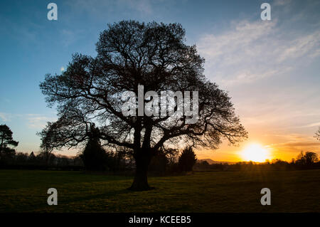 The setting sun silhouetting a mature, leafless penduculate oak tree (Quercus robur) growing in a field near Great - Stock Image