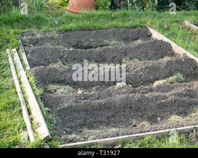 Trenches dug ready for seed potatoes at an allotment in Fulham, London UK - Stock Image