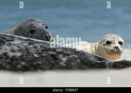 Close up of baby gray seal (Halichoerus grypus) between adults at the beach at Dune, Helgoland, Germany - Stock Image