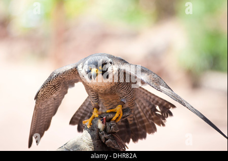 kestrel on perch - Stock Image