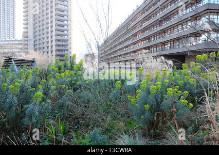 Euphorbia plants flowering in warm winter in Beech Gardens and view of Barbican Estate flats in City of London UK  February 2019    KATHY DEWITT - Stock Image