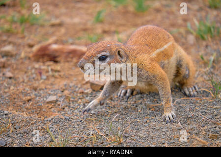Cape Ground squirrel (Xerus inauris) on four paws staring to the right. Focus on face in dry arid land - Stock Image