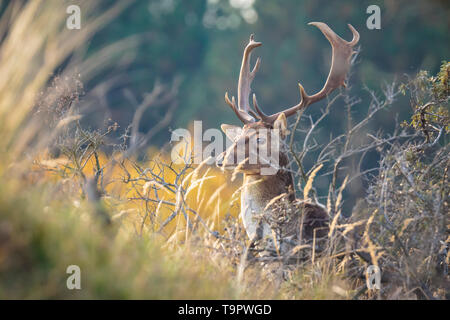 Fallow deer (Dama Dama) male walking in a forest. The Autumn sunlight and nature colors are clearly visible on the background. - Stock Image