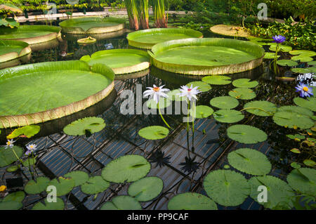 Giant Water Lily Victoria Amazonica Lily Pads - Stock Image