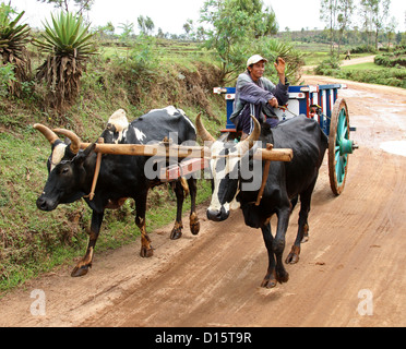Malagasy Man on an Ox Cart From a Farming Community Near Lake Tritriva, Madagascar, Africa. - Stock Image