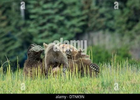 Grizzly Bear Sow, Ursus arctos, on her back, nursing two Spring Cubs, Lake Clark National Park, Alaska, USA - Stock Image