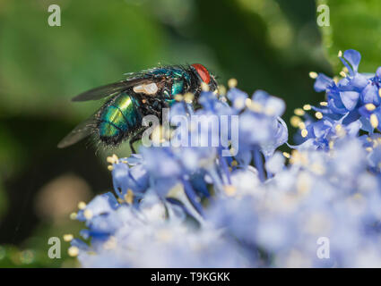Closeup macro of a Common Green bottle Fly (Lucilia sericata, Greenbottle fly) on a Californian lilac (Ceanothus) in Spring (May), West Sussex, UK. - Stock Image