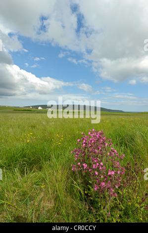 Shetland red campion (Silene dioica) in flower near Haroldswick on the island of Unst in the Shetland Isles. June - Stock Image