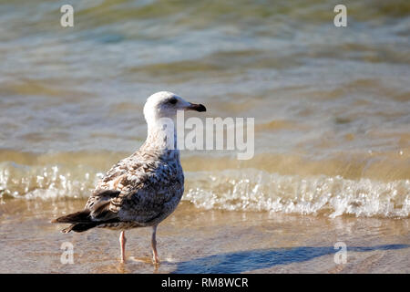 The seabird has stopped at the sea shore and is gazing at the waves. It is a scenery observed at the Baltic Sea coast in Kolobrzeg, Poland. - Stock Image