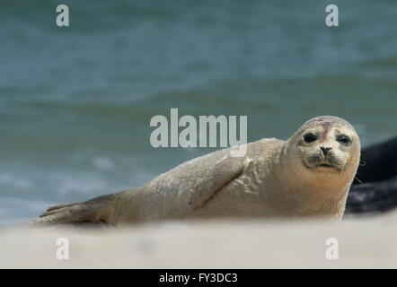 Close up of baby gray seal (Halichoerus grypus) at the beach at Dune, Helgoland, Germany - Stock Image