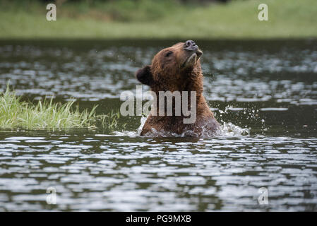 Adult male grizzly bear, brown bear, Ursus arctos, wading in the Khutzeymateen Inlet, British Columbia, Canada - Stock Image