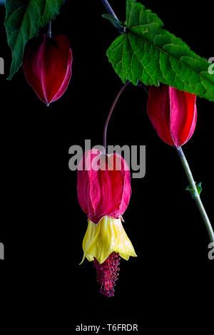 abutilon flower macro on black background - Stock Image