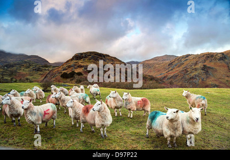 Lakeland Sheep on Coniston Fells - Stock Image