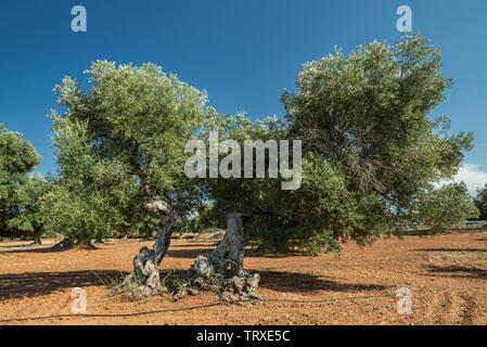 Mediterranean olive plantation with an old olive tree in the foreground. - Stock Image