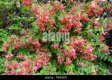 Rangoon Creeper or Chinese Honeysuckle (Combretum indicum) is an ornamental vine with red flower clusters - Stock Image