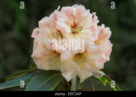 Rhododendron 'Wind River' flowers Himalayan Garden and Sculpture Park North Yorkshire England UK Europe May - Stock Image