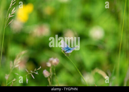 Adonis Blue Butterfly on Flower, Wiltshire UK - Stock Image