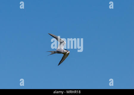 Common tern in flight with a freshly caught fish - Stock Image
