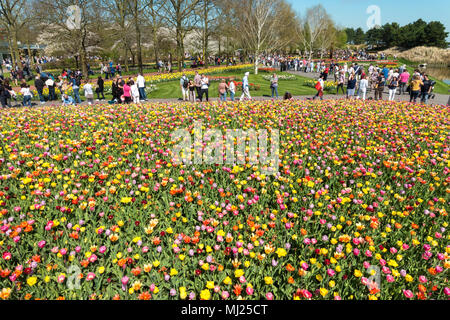 Keukenhof Flower Gardens in Lisse near Amsterdam Mixed Tulips in a colorful bed. - Stock Image