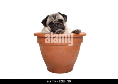 cute sweet pug dog sitting in terracotta plant pot, isolated on white background - Stock Image