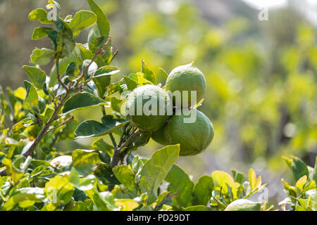 Green lemons before ripening, Citrus limon (L.) Osbeck, from the flowering plant family Rutaceae, now sold in Tesco, Saronida, Greece. - Stock Image