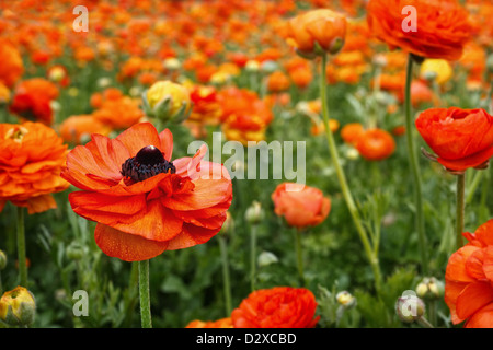 A single orange ranunculus flower, stands out, among a field of color. - Stock Image