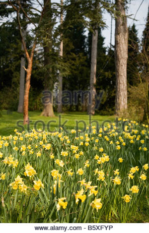 SPETCHLEY PARK GARDEN SPRING DAFFODILS - Stock Image
