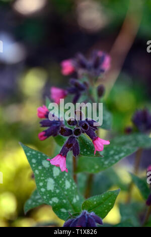pulmonaria Patric's Early Dawn,pink flowers,lungwort, perennials,flower,flowering,flowers,spring,garden,RM floral - Stock Image