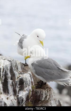 Kittiwake on the Farne Islands, Northumberland, UK. - Stock Image