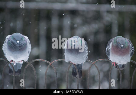 Feral Pigeons, (Columba livia domestica), perched on railings in winter snow, Regents Park, London, United Kingdom - Stock Image