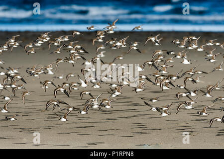 A Dunlin (Calidris alpina) flock flies along the beach during migration; Hammond, Oregon, United States of America - Stock Image