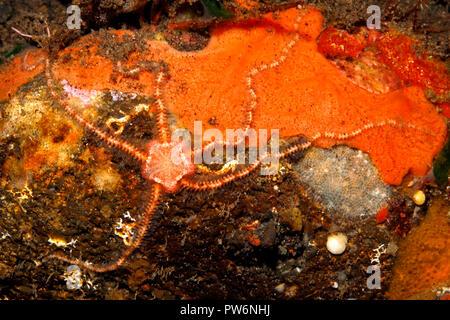 Orange Brittlestar, Ophiothrix sp. Tulamben, Bali, Indonesia. Bali Sea, Indian Ocean - Stock Image